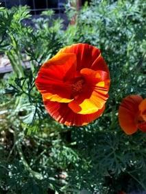 California poppy in bloom